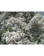 Bruyère blanche