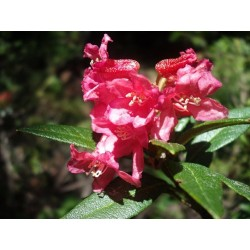 Rhododendron 250gr