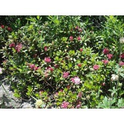 Rhododendron 500gr